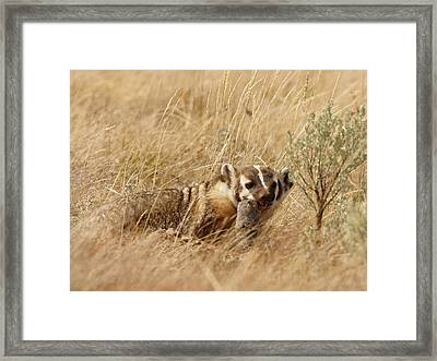 Badger With Prey Framed Print by Jeremy Farnsworth