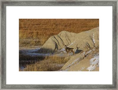 Badlands Buck Framed Print by Aaron J Groen