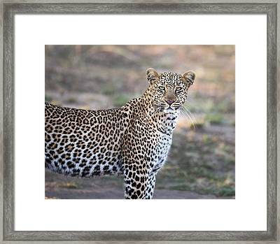 Bahati The Leopard In The Masai Mara Framed Print by June Jacobsen