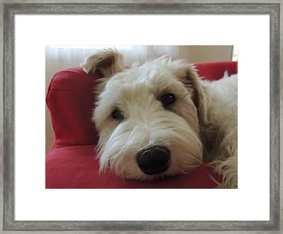 Bailey The Sealyham Framed Print