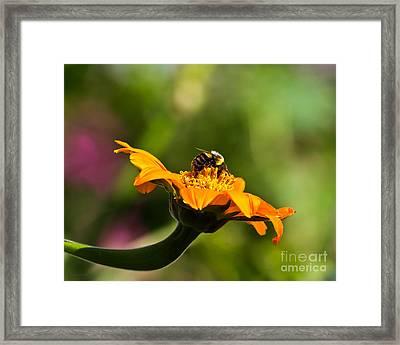 Balancing Bumblebee Framed Print