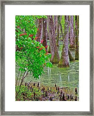 Bald Cypress And Red Buckeye Tree At Mile 122 Of Natchez Trace Parkway-mississippi Framed Print by Ruth Hager