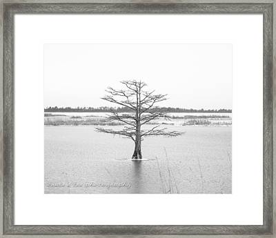 Bald Cypress Framed Print by Bruce A Lee