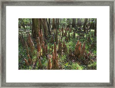 Bald Cypress Knees In Congaree National Park Framed Print by Pierre Leclerc Photography