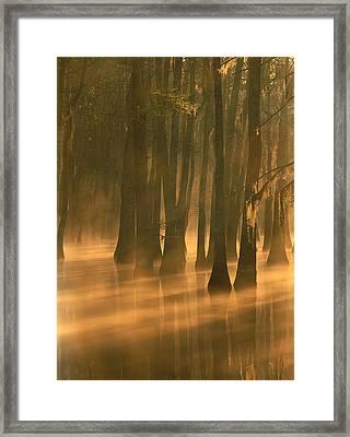 Bald Cypress Swamp Calcasieu River Framed Print by Tim Fitzharris