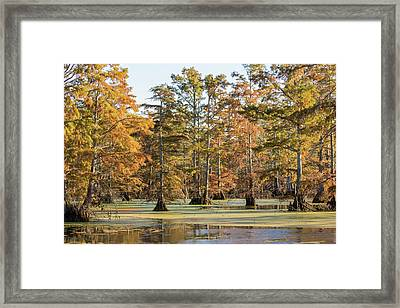 Bald Cypress Trees In Swamp, Horseshoe Framed Print by Panoramic Images