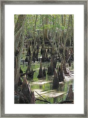Bald Cypress Trees Framed Print
