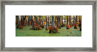 Bald Cypress Trees Taxodium Disitchum Framed Print by Panoramic Images