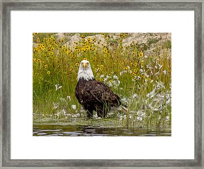 Framed Print featuring the photograph Bald Eagle @ Lunch  by Trace Kittrell