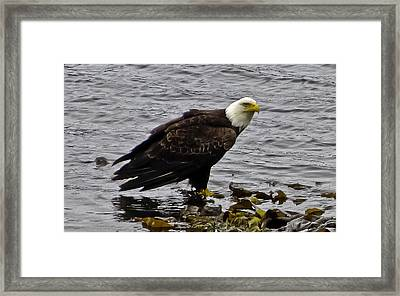 Framed Print featuring the photograph Bald Eagle 01 by Timothy Latta