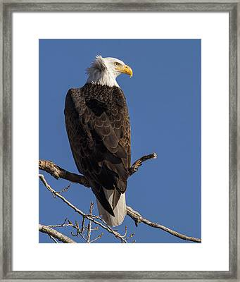 Framed Print featuring the photograph Bald Eagle 1 by Rob Graham
