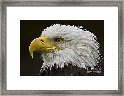Bald Eagle - 7 Framed Print by Heiko Koehrer-Wagner