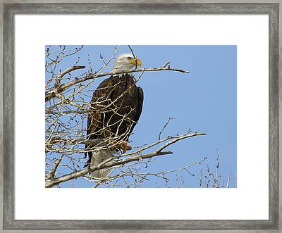 Bald Eagle And Branches 2 Framed Print