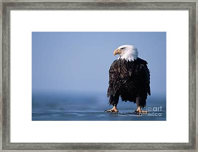 Bald Eagle At Low Tide Alaska Framed Print by