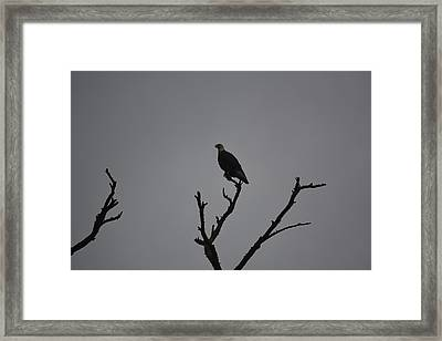 Bald Eagle  Framed Print by Nicholas Outar
