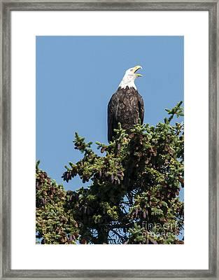 Bald Eagle Framed Print by Bob Dowling