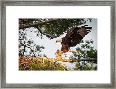 Bald Eagle Building Nest Framed Print