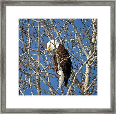 Bald Eagle Captain Cooks Alaska Framed Print by Debra  Miller