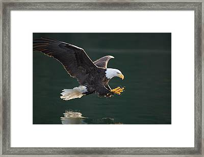 Bald Eagle Catching Fish Framed Print by John Hyde