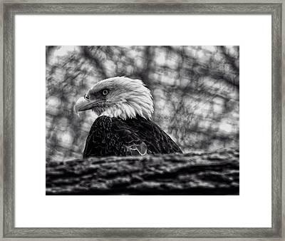 Bald Eagle Framed Print by Chris Flees