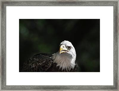 Bald Eagle Close-up In Light Framed Print by Sheila Haddad