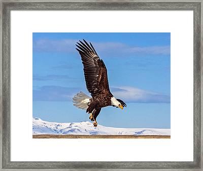 Bald Eagle Comming Down Framed Print
