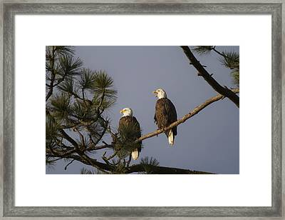 Bald Eagle Couple Framed Print by Mark Kiver