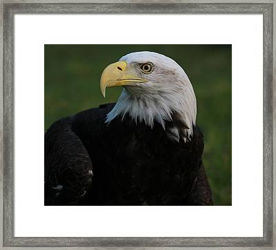 Bald Eagle Details Framed Print by Dan Sproul