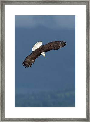 Bald Eagle Diving Framed Print by Ken Archer