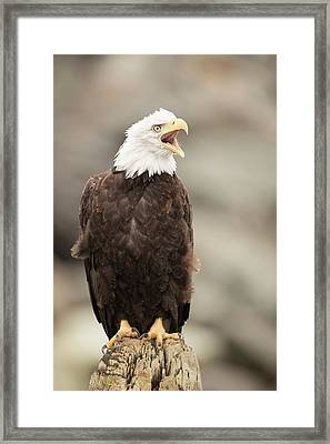 Bald Eagle Framed Print by Dr P. Marazzi