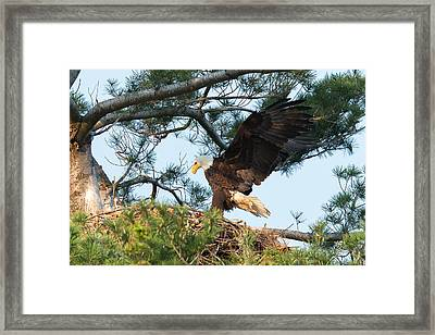 Bald Eagle Framed Print by Everet Regal