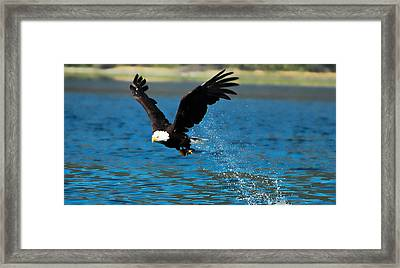Framed Print featuring the photograph Bald Eagle Fishing by Don Schwartz