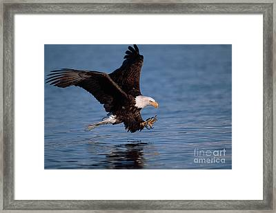 Bald Eagle Fishing Kenai Peninsula Framed Print by