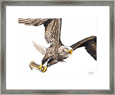 Bald Eagle Fishing White Background Framed Print by Aaron Spong