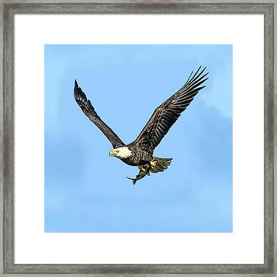 Bald Eagle Flying Holding Freshly Caught Fish Framed Print