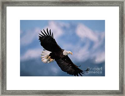 Bald Eagle Flying Kachemak Bay Framed Print by Yva Momatiuk John Eastcott