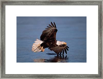 Bald Eagle Flying Kenai Peninsula Framed Print by