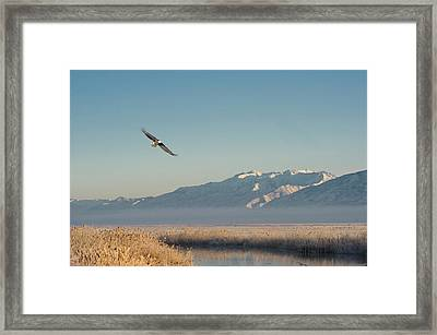 Bald Eagle Flying Over Farmington Bay Framed Print by Howie Garber