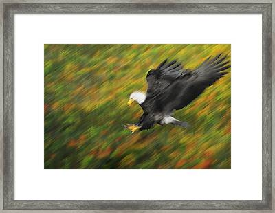 Bald Eagle Haliaeetus Leucocephalus Framed Print by Thomas Kitchin & Victoria Hurst