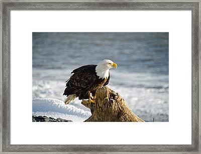 Bald Eagle Homer Spit Alaska Framed Print by Debra  Miller