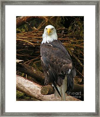 Bald Eagle I Framed Print