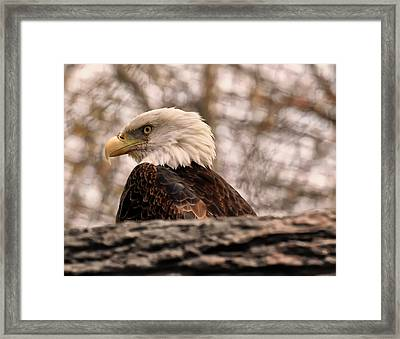 Bald Eagle In A Tree Framed Print by Chris Flees