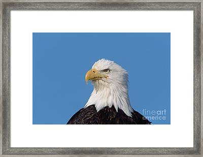 Bald Eagle In Alaska Framed Print by Yva Momatiuk John Eastcott
