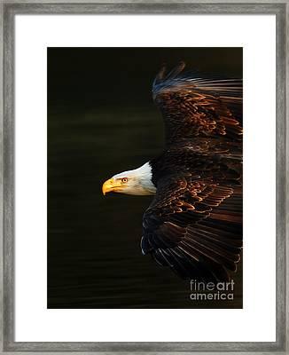 Bald Eagle In Flight Framed Print by Bob Christopher