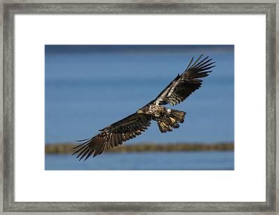 Bald Eagle In Flight, Immature Framed Print by Ken Archer