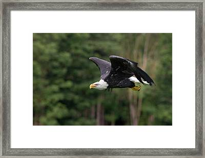 Bald Eagle In Flight Framed Print by Linda Wright