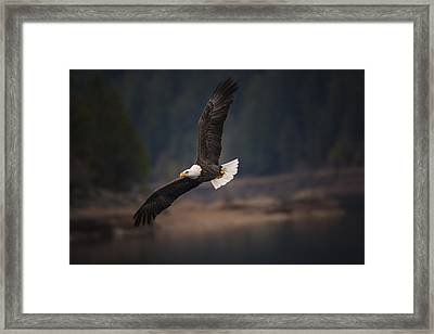 Bald Eagle In Flight Framed Print by Mark Kiver