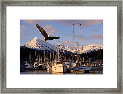 Bald Eagle In Flight Through Auke Bay Framed Print by John Hyde