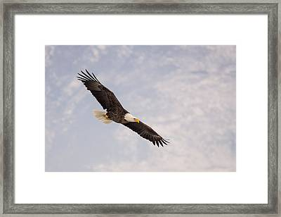 Bald Eagle In Full Extension Framed Print by Jeremy Farnsworth
