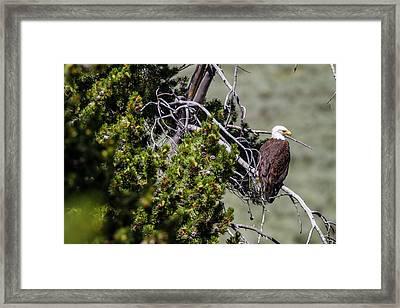 Bald Eagle In Hayden Valley Framed Print